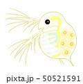 ミジンコ Daphnia 50521591