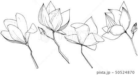 Vector Magnolia foral botanical flowers. Black and white engraved ink art. Isolated magnolia 50524870