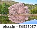 群馬県片品村の天王桜 50528057