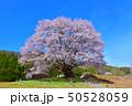 群馬県片品村の天王桜 50528059