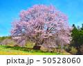 群馬県片品村の天王桜 50528060