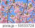 春 晴れ 桜の写真 50533728