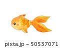 色鮮やか金魚 50537071