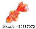 色鮮やか金魚2 50537072