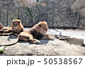 動物園のライオン、群馬サファリパーク 50538567