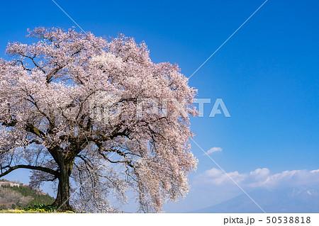 わに塚の桜 山梨県韮崎市 50538818