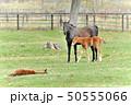 馬 サラブレッド 放牧の写真 50555066