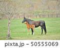 馬 サラブレッド 放牧の写真 50555069