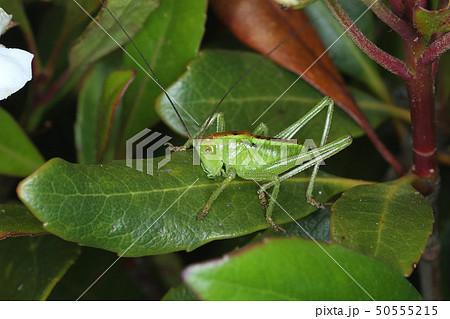 ヤブキリの幼虫、5月の昆虫 50555215