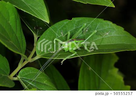 ヤブキリの幼虫、木の上で活動する昆虫 50555257