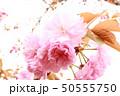 桜 50555750