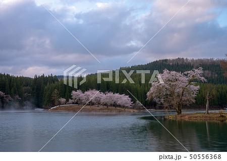 新潟県津南町中子の桜と朝靄 50556368