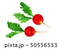 水彩画 ラディッシュ 野菜のイラスト 50556533