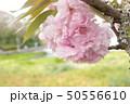 桜 50556610