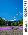 芝桜 晴れ 花のじゅうたんの写真 50560765