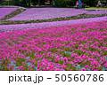 芝桜 観光 花のじゅうたんの写真 50560786