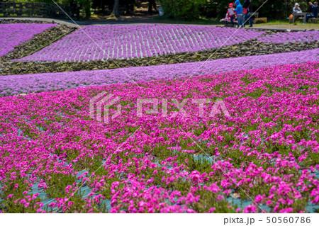 三田市の芝桜園 花のじゅうたん 50560786