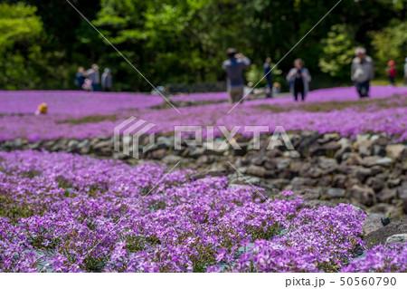 三田市の芝桜園 花のじゅうたん 50560790