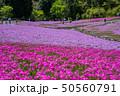 芝桜 花のじゅうたん 花畑の写真 50560791