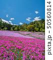 芝桜 花のじゅうたん 花畑の写真 50560814