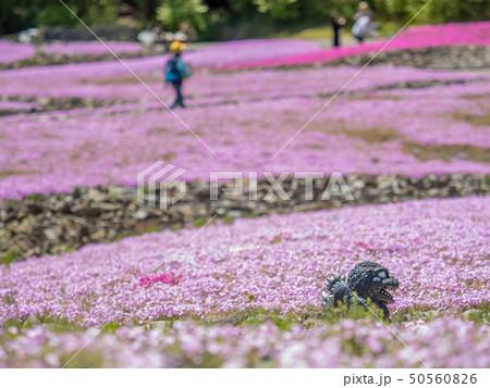三田市の芝桜園 花のじゅうたん 50560826