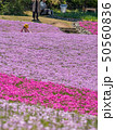 芝桜 観光 花のじゅうたんの写真 50560836