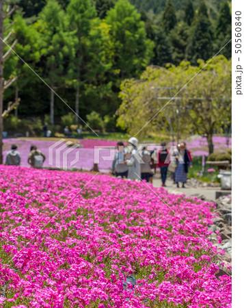 三田市の芝桜園 花のじゅうたん 50560840