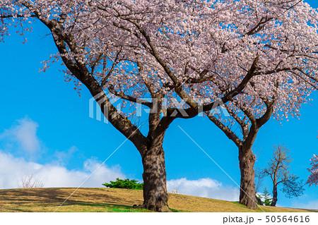 桜が満開の春のゴルフ場 50564616
