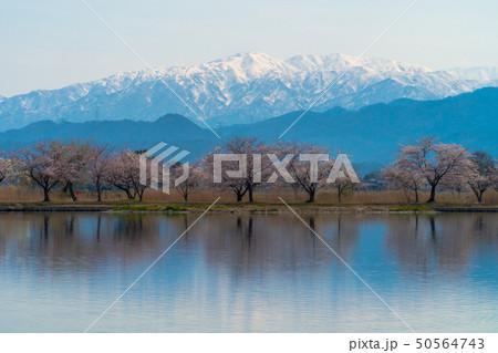 桜が満開の新潟県阿賀野市瓢湖の春 50564743