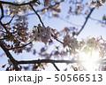 桜 逆光 花 植物 青空 50566513