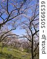 桜 並木 青空 斜面 春 50566539