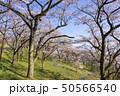 桜 並木 青空 斜面 春 50566540