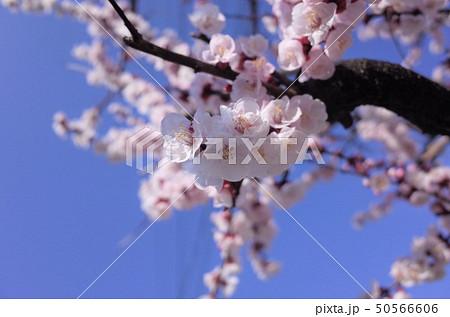 美しい桜の花、日本の春 50566606