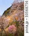 屏風岩公苑の桜 50568756