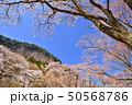 屏風岩公苑の桜 50568786