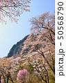 屏風岩公苑の桜 50568790