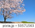土手 桜 春の写真 50571563