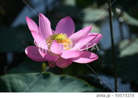 蓮の花 50573255