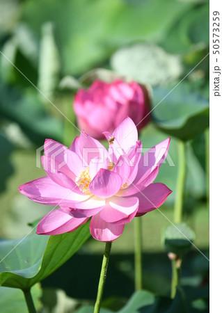 蓮の花 50573259