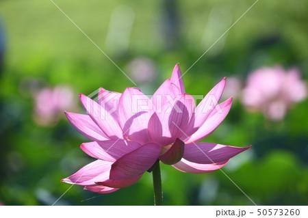 蓮の花 50573260