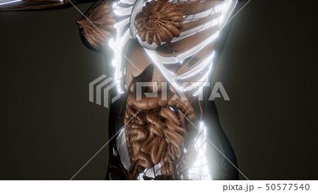 Transparent Human Body with Visible Bones 50577540