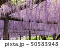 藤 藤棚 花の写真 50583948