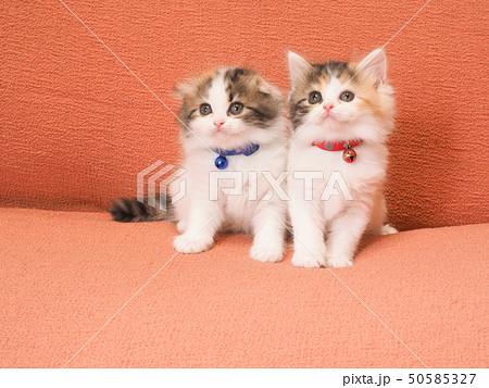 ソファーにのった二匹の仔猫 50585327