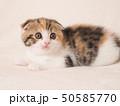 折れ耳の仔猫 50585770