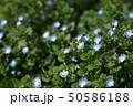 オオイヌノフグリ 花 春の写真 50586188