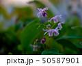 イカリソウ 50587901
