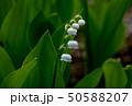 スズラン 50588207