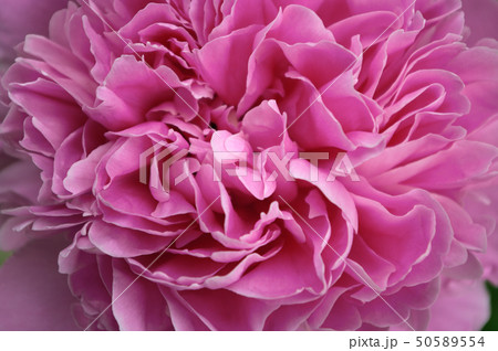 Macro close up peony flower. Petal blossom spring summer wedding decoration bouquet. Flowering 50589554