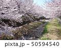 野川の桜(西之橋方向) 50594540