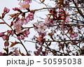 桜 50595038
